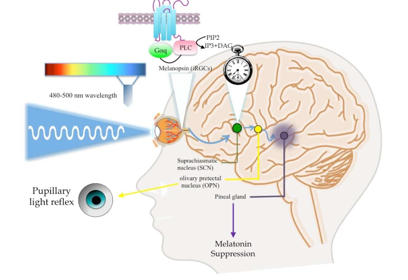 Control de la síntesis de melatonina