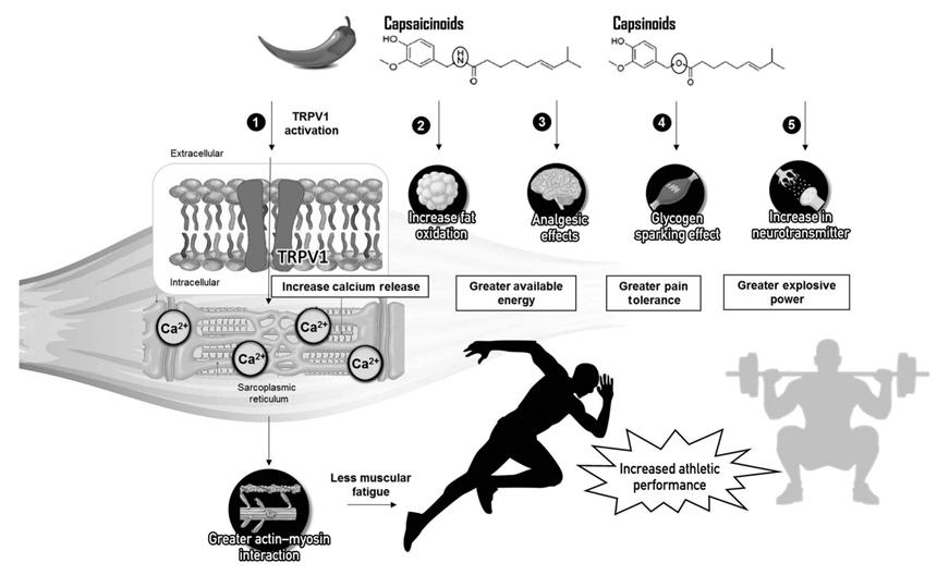 Efectos de la capsaicinoides y los capsinoides en el rendimiento deportivo.