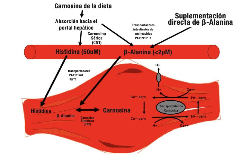 Resumen esquemático de la captación de beta-alanina, síntesis y almacén junto a los mecanismos propuestos involucrados en el aumento del contenido de carnosina a nivel muscular