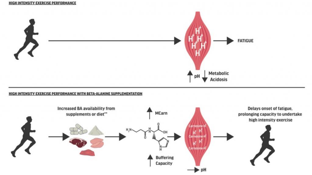 Fig. 3. Efecto de la ingesta de beta alanina en el ejercicio de alta intensidad