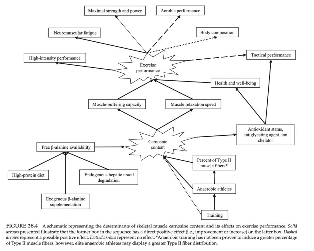 Fig. 4. Mecanismos propuestos para explicar los beneficios en el rendimiento deportivo gracias al aumento del contenido en carnosina.