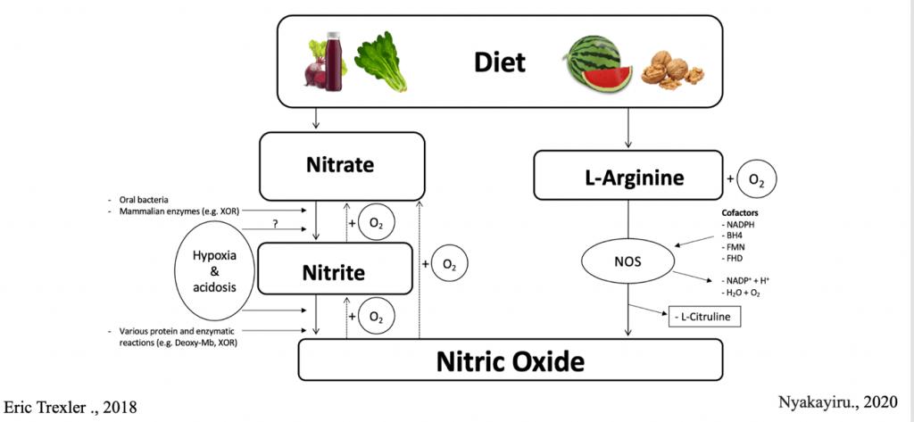 Vías de formación de oxido nítrico (NO) en el cuerpo humano