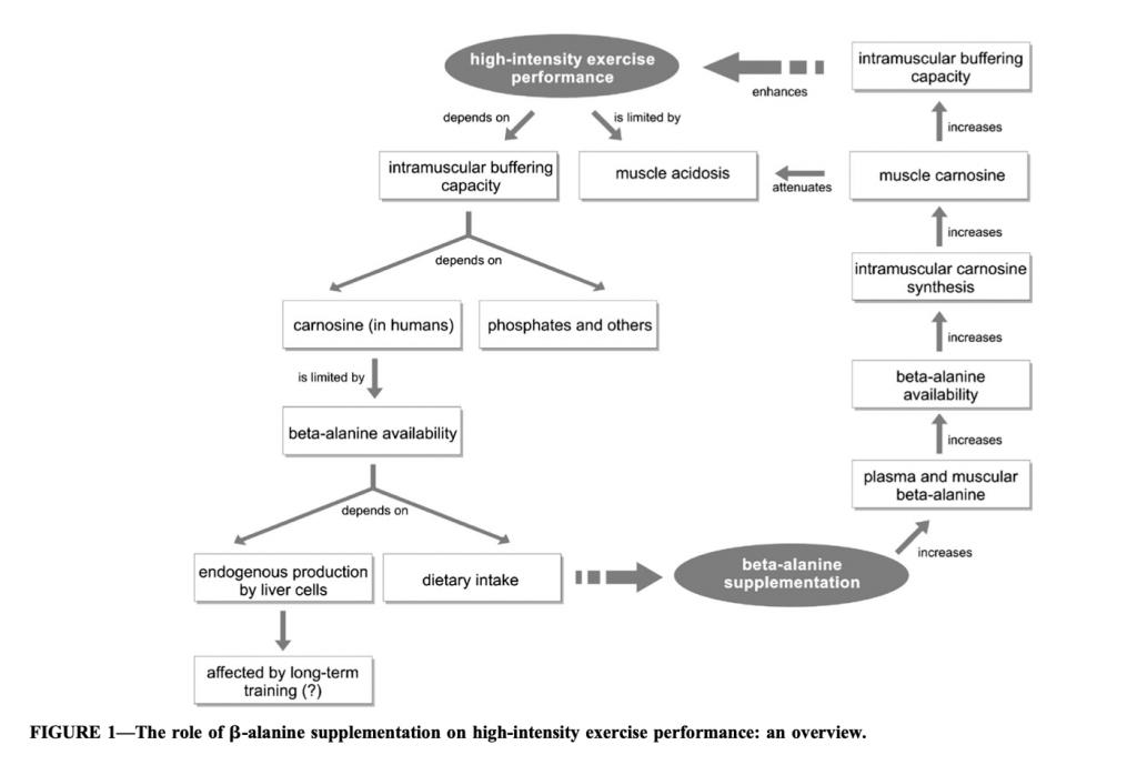 Fig. 5. Mecanismos propuestos para explicar los beneficios en el rendimiento deportivo gracias a la suplementación de beta alanina.
