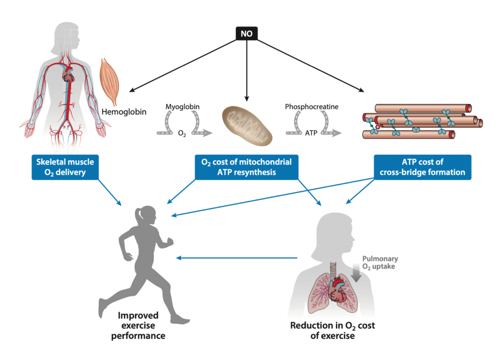 Efectos del aumento del óxido nítrico (ON) posterior a la suplementación con NO3− sobre la eficiencia del ejercicio