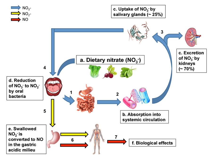 Metabolismo de los nitratos en el cuerpo humano.